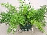 inferiore di sementi bonsai Geranium semi- Paintbox - F2 ibrida - 8 Seed decorazione del giardino della famiglia in vaso semi di piante C043
