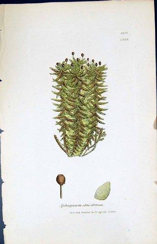 betriebsbotanik-torfmoos-obtusifolium-briten-farbdruck-1847-sowerby-smith