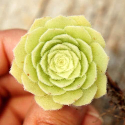Pinkdose 100 STÃœCKE Frische Seltene Aeonium tabuliforme Sukkulenten sementes: Multi-Colored