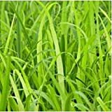 Plants Guru Citronella Plant