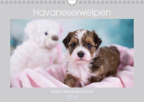 Havaneserwelpen - Kleine Herzensbrecher (Wandkalender 2018 DIN A4 quer): Welpen, die sofort ihr Herz erobern werden! (Monatskalender, 14 Seiten ) (CALVENDO Tiere) (Welpen-kalender-kleine)