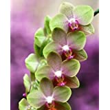 La venta caliente 50pcs rara orquídea Cymbidium, Cymbidiums semillas africanas, semillas de flores bonsai, plantas para el jardín de j