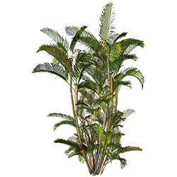 Goldblattpalme 5 Samen