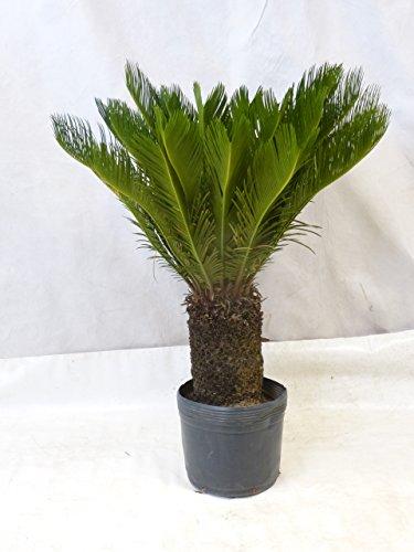 [Palmenlager] - Cycas revoluta - 120/140 cm - Stamm 40 cm - Sagopalme/Palmfarn