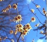 Chinesische Winterblüte, Chimonathus praecox, 40-50cm, im Topf