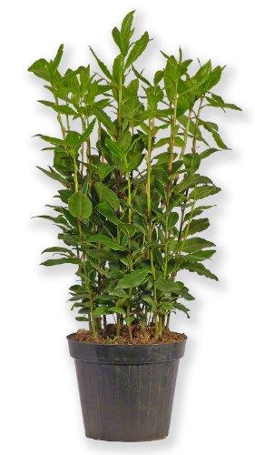 Laurus Nobilis Lorbeer Lorbeerpflanze Gewürzlorbeer