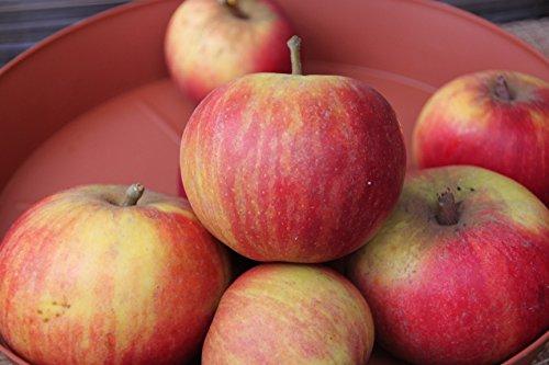 Apfel Cox Orangen Renette Viertelstamm wurzelnackt, 90 cm Stammhöhe inkl. Pflanzschnitt