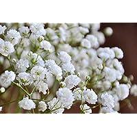 Amazonit Velo Da Sposa Piante Semi E Bulbi Giardino E Giardinaggio