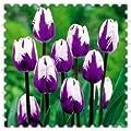 300true Tulpenzwiebeln, Tulpe Blume, Blumenzwiebeln, Outdoor-Anlage, Natürliches Wachstum, Bonsai-Topf für Hausgarten von SVI bei Du und dein Garten