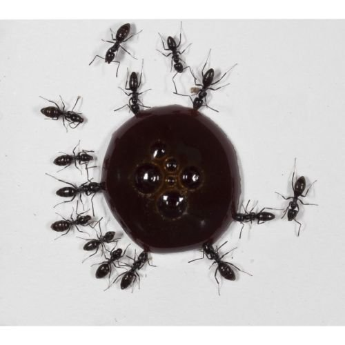 30ml-protein-syrup-for-queens-ants-and-ants-colony