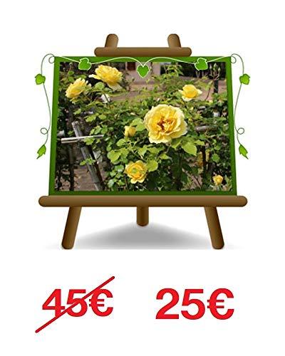 Rose d'escalade couleur jaune pur - Petite fleur sur pot de 30 - max 100 cm - 5 ans