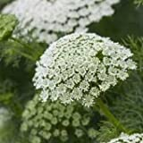 Ammi majus 'Queen of Africa' / Bishop's Finger / Seeds