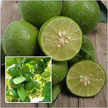 Potseed Samen Keimung: Citrus aurantiifolia 100 Samen, Kalk Samen, Obstbaum Tropical aus Thailand