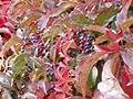 Wilder Wein 'Engelmannii' - Schnellwachsende Kletterpflanze von Baumschule auf Du und dein Garten