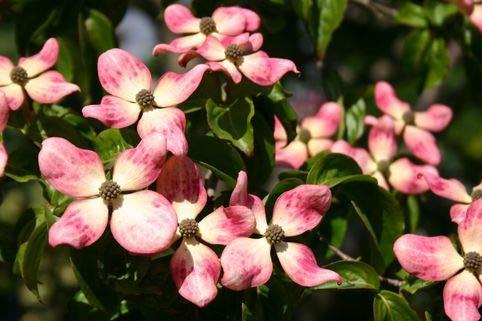 Keland Garten - Asien Raritäten Japanischer Blumen-Hartriegel 'Satomi' ® reichblühend Bienen- und Vogelnährgehölz, 100pcs Blumensamen Baumsamen winterhart mehrjährig