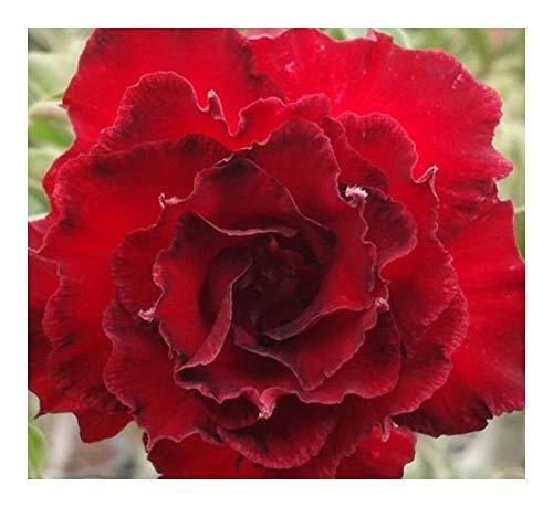 Adenium obesum Fire Stone - Rose du désert - Faux baobab Fire Stone - 3 graines