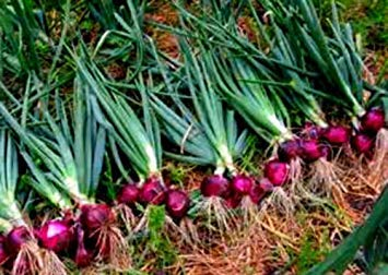 Farmerly 30 Seeds of Ruby Red Long Day Onion . Easy to Grow .