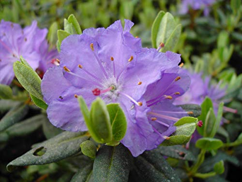 Rhododendron impeditum 'Ramapo' - Im 2 lt. Topf, Höhe ca. 20-25cm