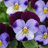 Generic Generische Blau Lila Viola Samen Garten Bodendecker Jährliche Blumensamen - Purple- 100 Teile/paket
