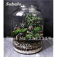 VISTARIC 2 20 Pz Bonsai Fiori Amaranthus Tricolour Semi Poinsettia Amaranto Tasso Di