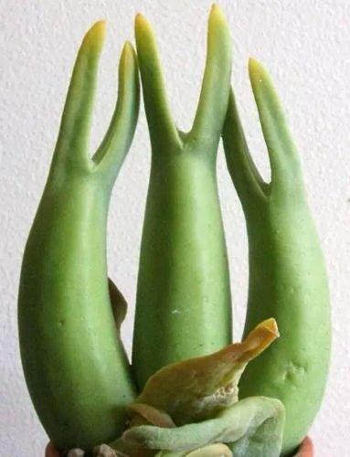 Mitrophyllum mitratum - Caudexpflanze - 15 Samen