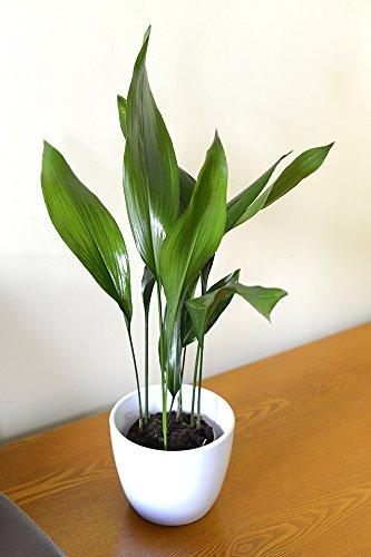 Zimmerpflanze für Wohnraum oder Büro – Aspidistra elatior – Schusterpalme 30cm