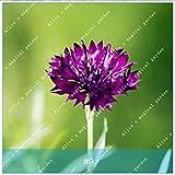 9: ZLKING 100 pc/pacchetto colorati Fiordaliso Bonsai semi di alta varietà di fiori di semi di semi hanno un profumo per balcone 9 di farmerly