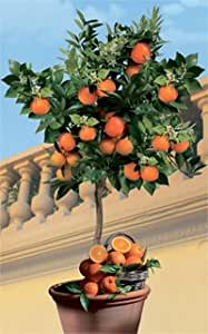Echter Orangenbaum Palermo, 1 Stück