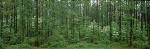 The Poster Corp Panoramic Images - Flowering Dogwood (Cornus florida) trees in a forest Alaska USA Photo Print (91,44 x 30,48 cm) - Flowering Dogwood Tree