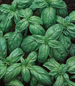 premier-seeds-direct-org046-basil-genovese-organic-seeds-pack-of-2000