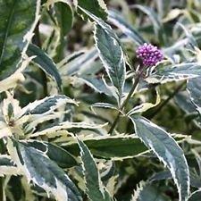 Rosa Frost Joe Pye Weed- 20 Seeds - Perennial Comb. S/H Veränderte Blätter!