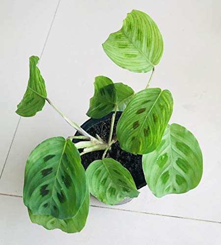 The Four Seasons Maranta Leuconeura Kerchoveana Natural Live Prayer Plant in Pot