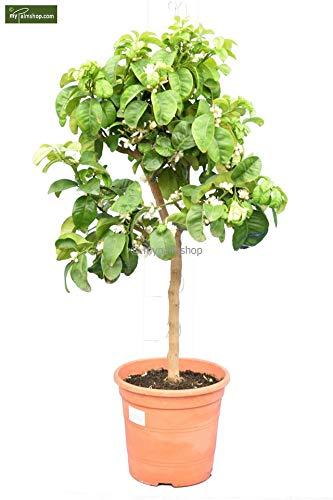 Citrus aurantium 'Bouquet de fleur' - Duftender Zitronenbaum - Gesamthöhe 80-100cm - Stamm 40-50cm - Topf Ø 24cm