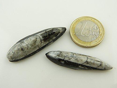 Preisvergleich Produktbild Orthoceras Fossil - Einzelstücke