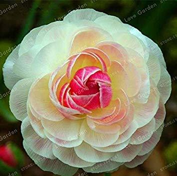 100 PCS Ranunculus Asiaticus Blumen Bonsai DIY Pflanzen für Hausgarten Indoor Bonsai Pflanzen Bonsai Topfpflanze: 14
