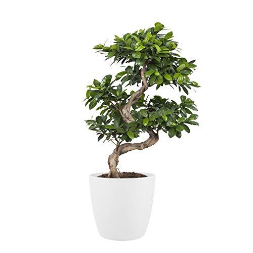 BOTANICLY Zimmerpflanzen | Bonsai Baum - Ficus mit weißem Übertopf | Höhe: 70 cm | Ficus ginseng