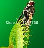 Heißer Verkauf! Lila Bougainvillea Spectabilis Samen Sementes De Flores Perennial Blütenpflanzen Bonsai Samen- 100 Stück / Beutel, # E26EY0
