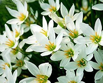 vegherb Adb Inc 4 Typen Zephyr carinata Weiß Rot Gelb Rosa Regen-Lilie Staudengarten Blumensamen (03)
