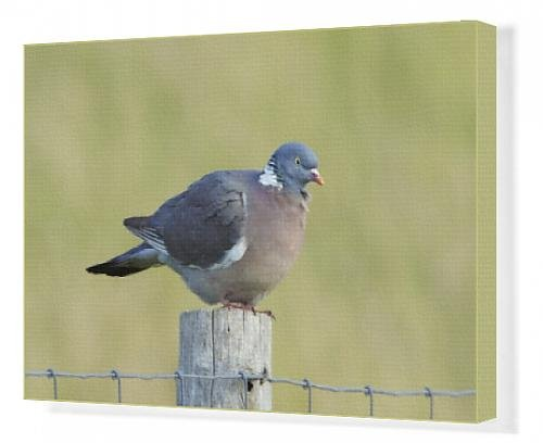 canvas-print-of-woodpigeon-on-fence-post