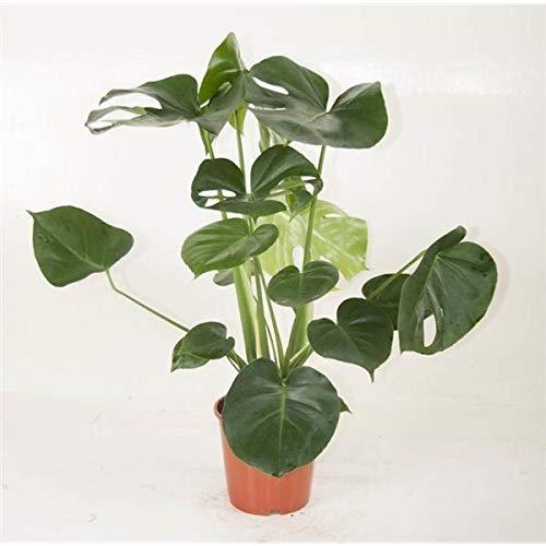 Monstera delicosa 50 cm Köstliche Fensterblatt Zimmerpflanze