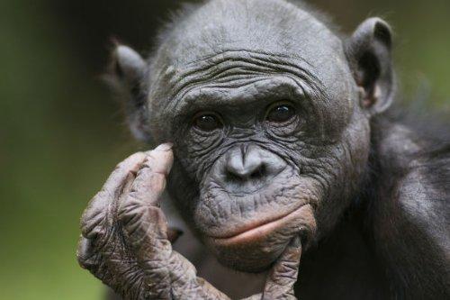 """Preisvergleich Produktbild Postkarten-Serie Tiere aus Afrika (Affen): """"DER DENKER - SCHIMPANSEN-PORTRÄT (BONOBO) - 10510"""