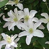 Clematis 'Huldine' - Mehrjährige Kletterpflanze von Native Plants