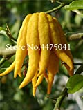 Go Garden 50 Stück Bergamotte-Bonsai-Pflanzen, Familie im Topf, Gold-Buddha-Hand, Luft reinigen, Gelbgold-Buddha-Hand gute leckere saftige Frucht: 1