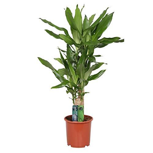Pflanzen Kölle Drachenbaum, Dracaena Steudneri, 45-20, Tuff, Höhe 80 cm