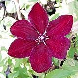 Clematis 'Westerplatte' - Schöne Kletterpflanze von Native Plants