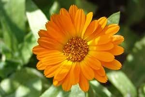 Marigold - Pot English Marigold - 60 seeds