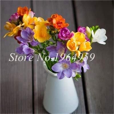 Shopmeeko Graines: Vase spécial coloré Bonsai Fleur Freesia Bonsai Décor rare orchidée Illuminez votre jardin personnel Bonsai 100 Pcs/Sac: 21