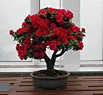 Plant House English Red Rose Beautiful Bonsai Flower - 1 Year Old Plant With Bonsai Pot