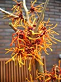 orangegelb blühende Zaubernuss Hamamelis intermedia Aphrodite 80-100 cm hoch im 5 Liter Pflanzcontainer