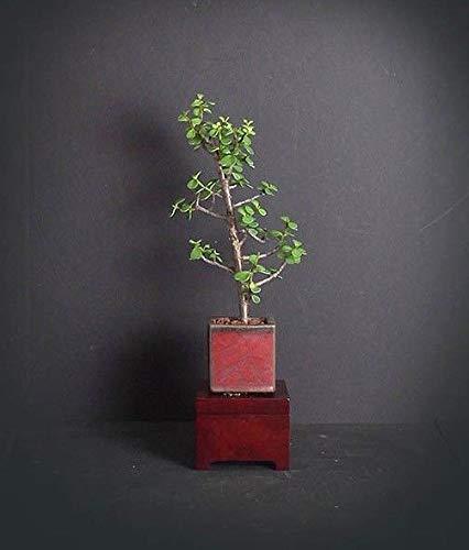 FERRY Bio-Saatgut Nicht nur Pflanzen: Jade Bonsai, Afrika da Bonsai Sammlung von Sai-Gärten -